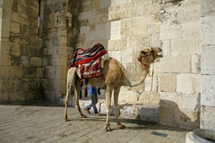 Camel in front of Jaffa gate, jerusalem Stock Image