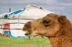 Camel in front of Mongolian ger. On steppe in central Mongolia Stock Photo