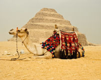 Camel in front of pyramid Stock Photos