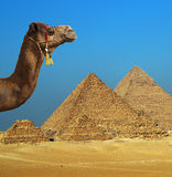 Camel in front of pyramid in Egypt Royalty Free Stock Images
