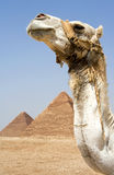 Camel in front of pyramids. Camel in front of Egyptian pyramids Royalty Free Stock Images