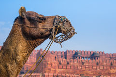 Camel in front of the Red Fort Royalty Free Stock Images