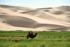 Camel in front of sand dunes Stock Images