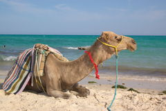 Camel on front of sea Stock Photography