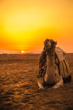 Camel in front of sunset Stock Photos