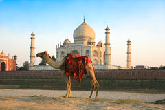 Camel in front of Taj Mahal. In sunset , Agra , India Stock Images