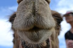 Camel front view, at Camel farm, ride in desert at Eilat, Southern Negev desert, wilderness of Israel. Camel farm, ride in desert at Eilat, Southern Negev royalty free stock photography