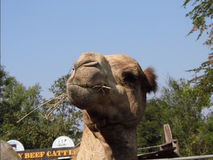Camel funny Royalty Free Stock Images