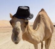 Camel. Funny camel in the desert Royalty Free Stock Photos