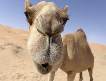 Camel. Funny camel in the desert Royalty Free Stock Image