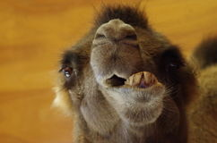 Camel Funny Face Close-Up. Funny extreme close-up face shot of camel with mouth open and skewed jaw Royalty Free Stock Photos