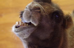 Camel Funny Face Close-Up. Funny extreme close-up face shot of camel with mouth open and skewed jaw Stock Photography