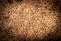 Camel fur look rough and dirty Royalty Free Stock Photo