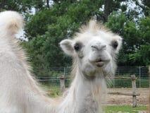 Camel. Furry white bearded camel in Vyškov Zoo Stock Photography