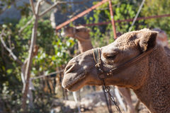 Camel in the ghost town of Kayakoy Royalty Free Stock Images