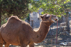 Camel in the ghost town of Kayakoy Stock Images