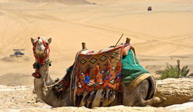 Camel at giza Stock Photos