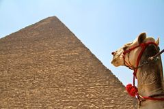 Camel at giza praymids Royalty Free Stock Photo