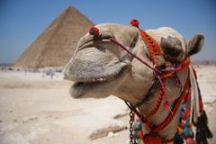 Camel. In Giza pyramid in the background in Cairo Royalty Free Stock Photo