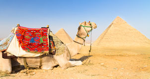 Camel at Giza pyramides, Cairo, Egypt. Stock Photography