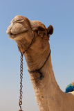 Camel in Giza pyramids, Egypt Stock Photos
