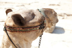 Camel in Giza pyramids, Egypt. Camel Giza Great and famous Egyptian pyramids Stock Photography