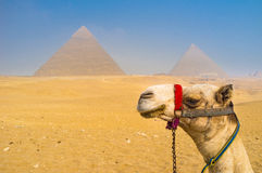 The camel Stock Image