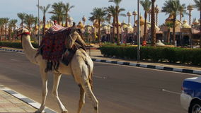 Camel go along the Road in a Tourist Place near the Market stock video footage