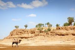 Camel in the Gobi Desert. A camel walking through the desert Stock Image