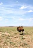 Camel in the Gobi desert stock photo