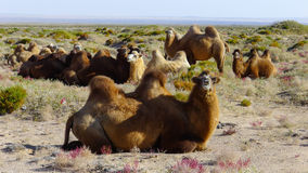 Camel on the Gobi Desert. Inner Mongolia, China, The domesticated Bactrian camel has served as a pack animal in inner Asia since ancient times. With its Royalty Free Stock Photography