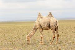 Camel in the Gobi Desert, Mongolia Royalty Free Stock Photos