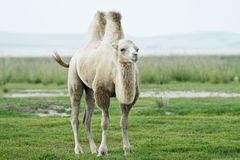 Camel on the grasslands of Inner Mongolia Chifeng Stock Image