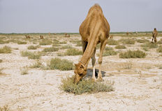 Camel grazing. In the Runn of Kutch the camel is feeding on sweda Stock Image