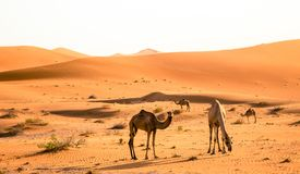 Camel Grazing. In early morning with sand dunes in the backdrop in United Arab Emirates Royalty Free Stock Photos