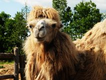 Camel on green grass, summer Royalty Free Stock Photo