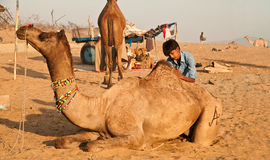Camel grooming at Pushkar Royalty Free Stock Photos