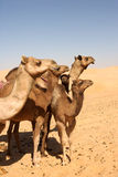 Camel Group Royalty Free Stock Photo