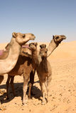 Camel Group stock image