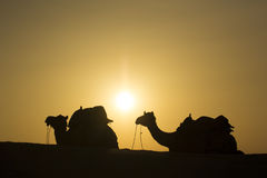Camel group sit on dune Royalty Free Stock Photo