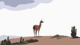 Camel guanaco. Camel lama cautiosly looking around in desert landscape Stock Photos