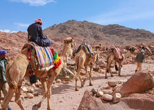 Camel guide royalty free stock photo