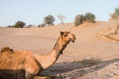 Camel hanging around in the Thar desert near Jaisalmer India royalty free stock images