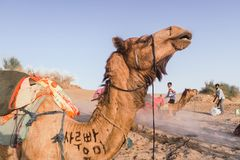 Jaisalmer/India - March 20, 2017: Camel being funny in the Thar desert near Jaisalmer India stock image