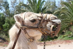 Camel With Harness. Closeup of camel's head with harness Royalty Free Stock Images