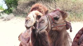 Camel in harness.  stock video
