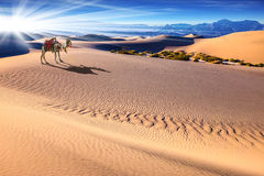 Camel Stock Images