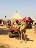 Camel Harnessed to Desert cart with Tent Stock Photo
