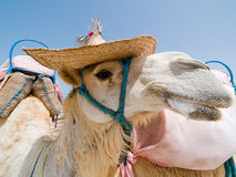 Camel with a hat. Smiling Camel with a hat Stock Image