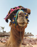Camel in hat Royalty Free Stock Photography